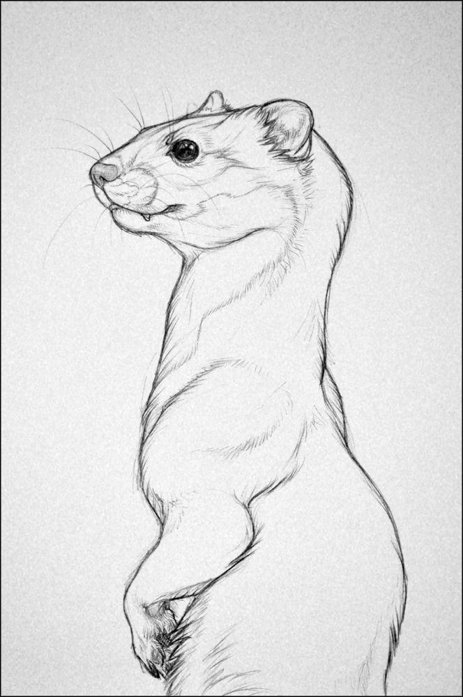 A Weasel by nikkiburr.deviantart.com on @deviantART