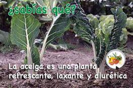 La acelga es refrescante, antioxidante y diurética Propiedades de la acelga http://mihuertaonline.wordpress.com/2014/05/21/propiedades-de-la-acelga/