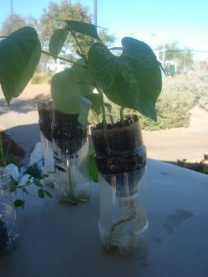 container gardening with soda bottles