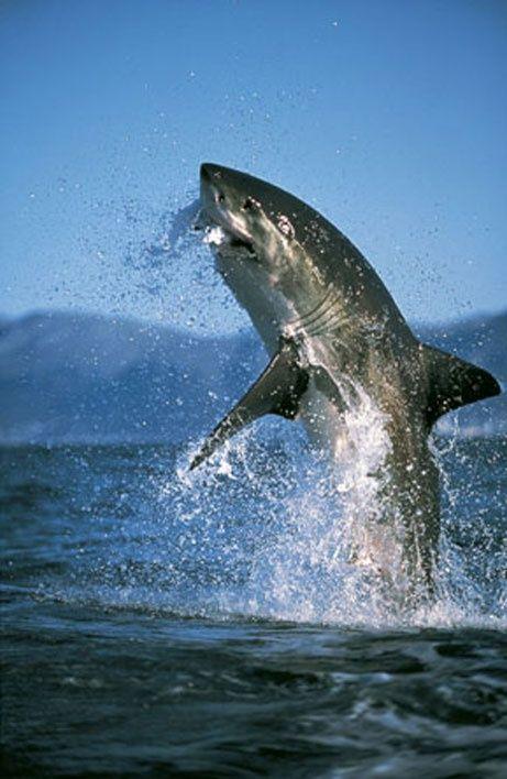 Wow u s photographer amos nachoum said he spent almost for Great white shark fishing