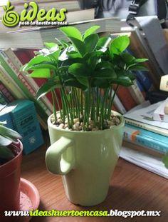 Germinar semillas de limon en una taza. Un aroma especial para la oficina…