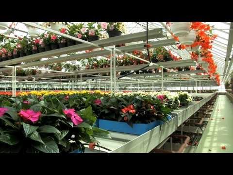 Kukkia käsityönä - Tapio Koivula kertoo kesäkukkien kasvatuksesta perheyrityksessään Elimäellä -video