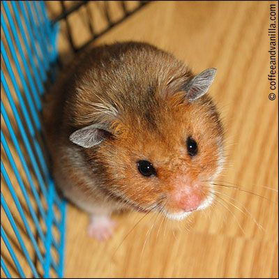 Toffy - Syrian hamster
