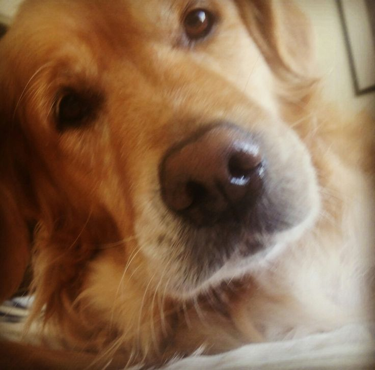 My furbaby #goldenretrievers #ilovemygolden #myfurbaby