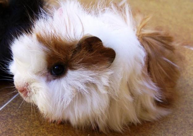 tiny cute guinea pig