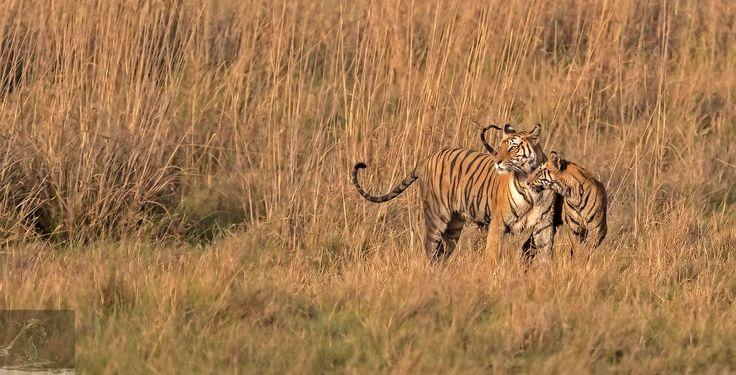 Bandhavgarh 036 - An adult female Bengal tiger with her cub - Bandhavgarh, India…