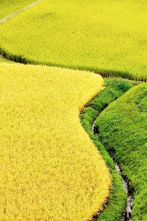 #Rice Fields of Japan #ClusterExpo #Expo2015