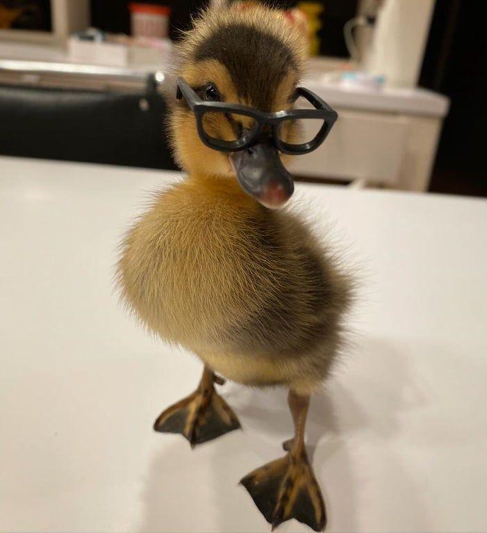 Little Glasses For A Little Duckling Eyebleach In 2020 Pet