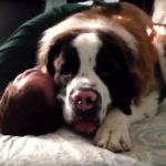 Giant St. Bernhard Dog Gives Men A Huge Cuddle- But He Miraculously Pulled Through  The video on next page has already 8,775,789 ( 8.7 Mio ) views!! Do not miss the video on next page. What do you really feel when you see a big dog? Most probably, you feel afraid that he is …  [CLICK TO READ MORE]   The post  Giant St. Bernhard Dog Gives Men A Huge Cuddle- But He Miraculously Pulled Through  appeared first on   .  https://www.dogisto.com/a-saint-bernard-dog-cuddles/