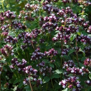 Marjoram Plant. Good for bees!