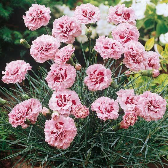 Pfingstnelke Monica Wyatt Nelken Bodendecker Blumen