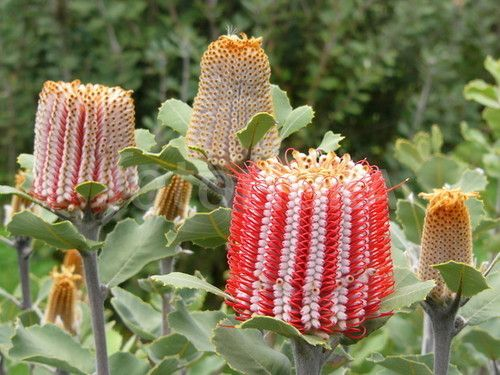 17 best images about banksia on pinterest