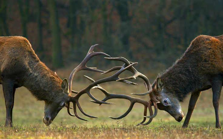 Batalla de ciervos rojos (Cervus elaphus)