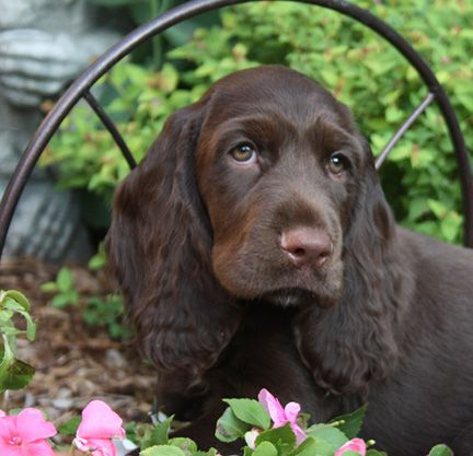 Adorable Field Spaniel puppy with those sweet puppy eyes.
