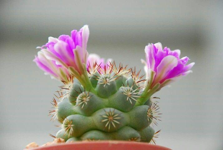 Mammillaria Schumannii photo by MIM