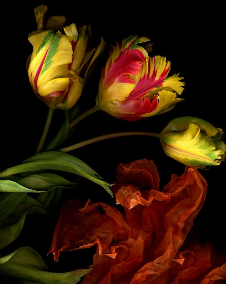 My favorite flower, the Parrot Tulip...  Beautiful photograph by Katinka Matson, 2004.