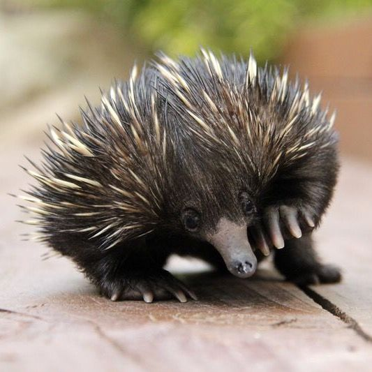 Echidna Baby (known as a Puggle).  Echidnas belong to a group of egg-laying mammals called monotremes, which are found only in Australia & New Guinea. Their defense is their spiny coats. If their spines aren't enough to keep them safe, Echidnas use their powerful claws to dig themselves into the earth, disappearing like a sinking ship. At Australia's Taronga Zoo. #ZooBorns