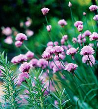 Landscaping with Herbs - thyme and chives