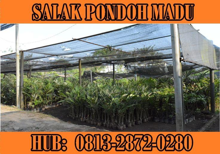 Jual Salak Pondoh Madu Paling Manis Seperti Manis Madu. HP: 081328720280 (Drs. Subambang)