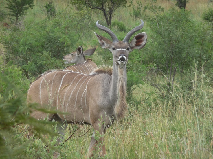 Kudu, Pilanesberg National Park, South Africa