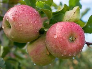 Apfelzeit! Für alle unter euch, die Ihre Äpfel aus dem eigenen Garten pflücken, gibt es hier ein paar nützliche Tipps, wie Ihr erkennt, wann das Obst reif ist!