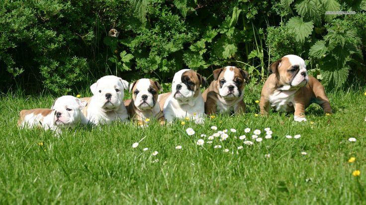 chiots bulldogs Anglais de toute beauté ♥