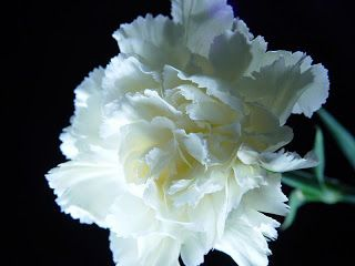 Flower Picture: Carnation Flower Picture