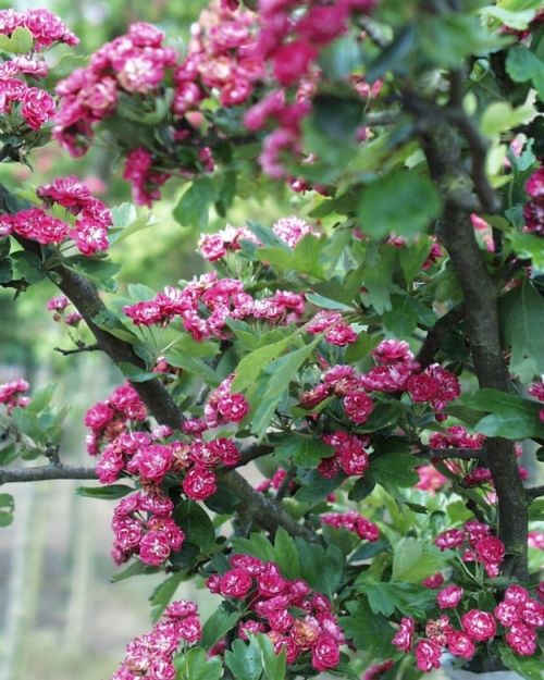 Crataegus laevigata 'Paul's Scarlet' #flowering #tree #trees www.vdberk.co.uk