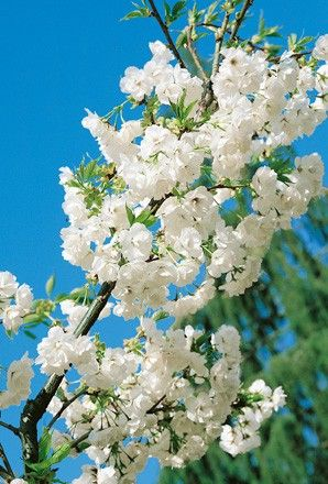 Prunus Shirotae -Tree