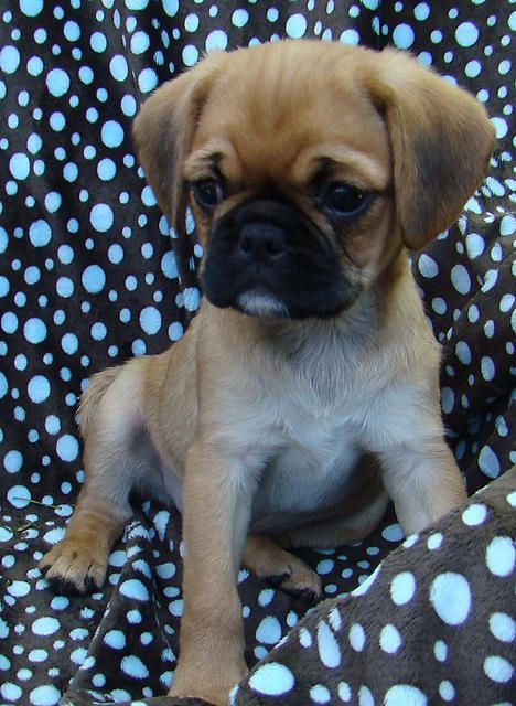 Pugalier pup.  I soooo want one