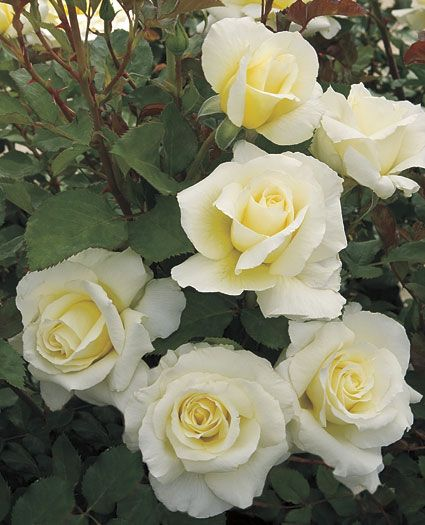 ~JP: White Licorice™ (Singin' In The Rain) - Lemon Chiffon White Floribunda Roses