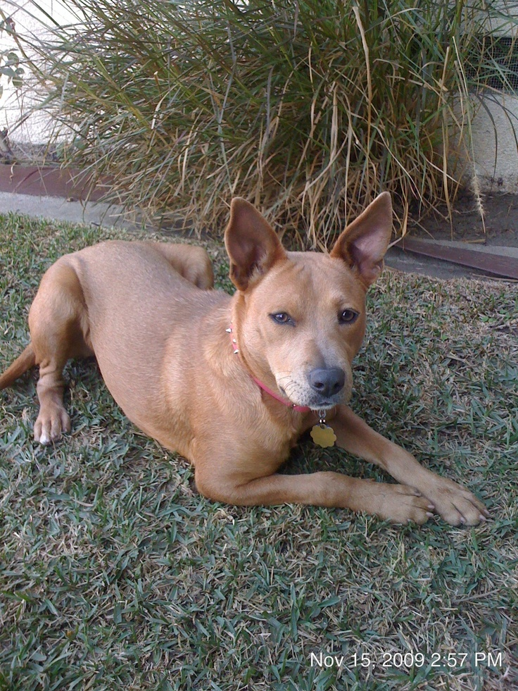 pit bull basenji mix penny lane more basenji mix ...