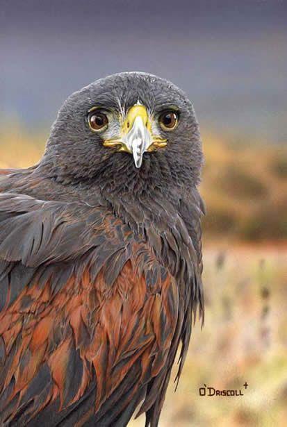 Harris Hawk an original acrylic painting by wildlife ...