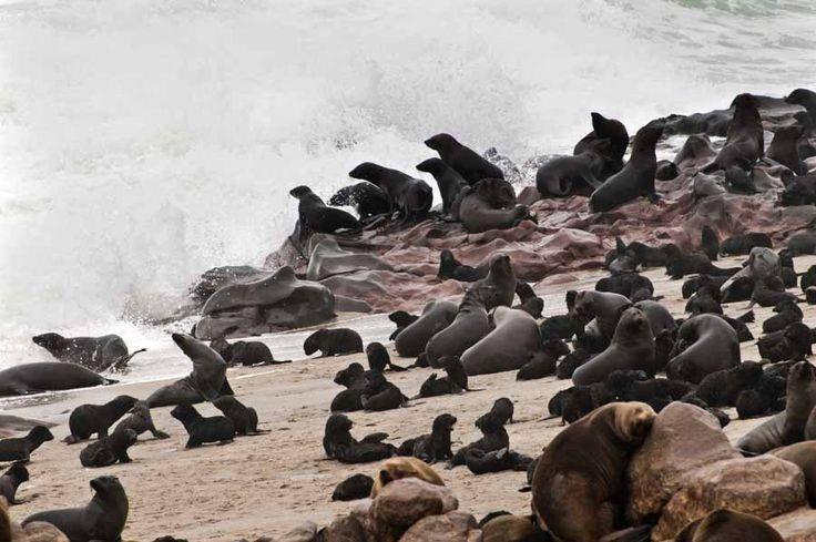 Αποικία από φώκιες στις ακτές της Namibia