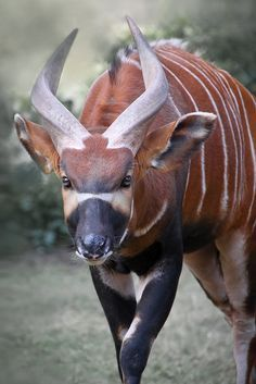 Bongo (Tragelaphus eurycerus), the largest of the African forest antelope species
