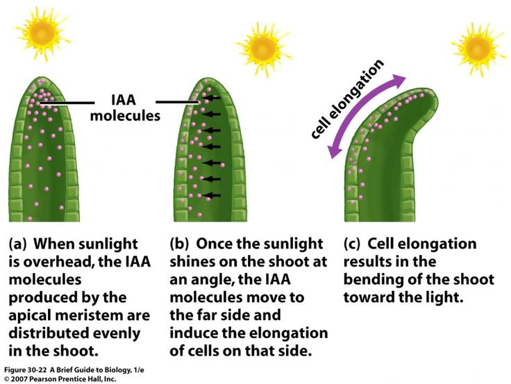 The Process of Phototropism | ... agency in Scotland » Higher Biology Revision: Phototropism in Plants