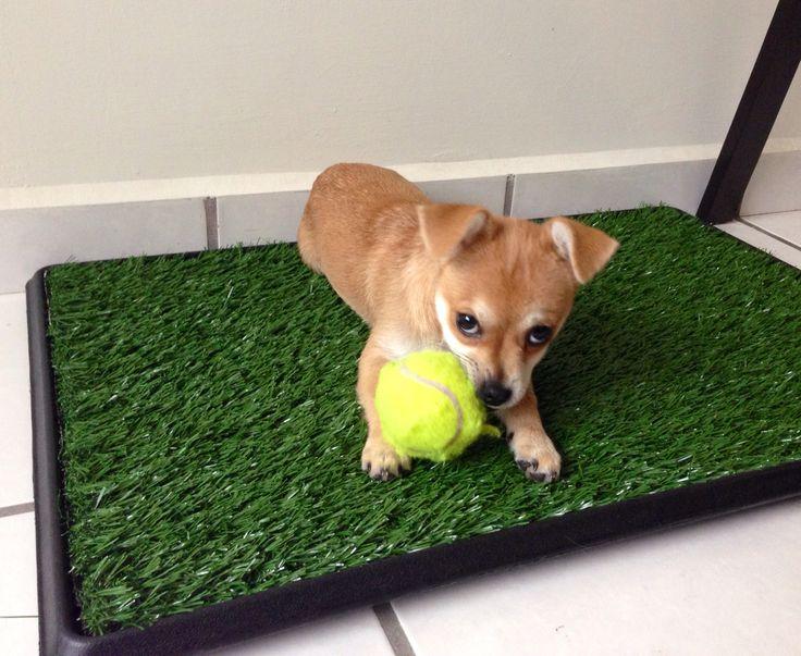 Cachorro Chihuahua pelo largo. Porqe un perrito alegra una casa