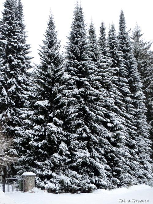 trees, photo Taina Tervonen
