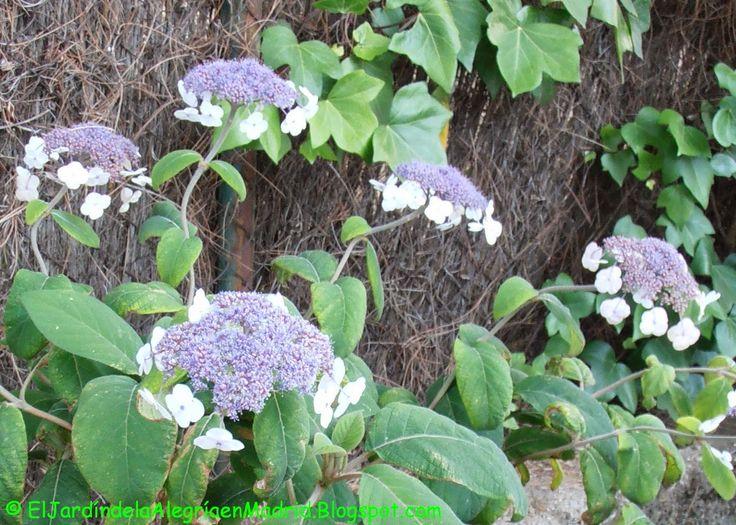 Cuidado De Las Hortensias En Maceta Trendy El Cuidado De Su - Hortensias-cuidados-poda