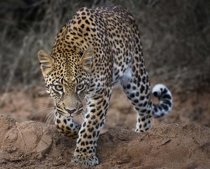 Leopard - I named this image (Leopard in my Lens) - copyrighted - bruna@thrumyafricanlens.co.za