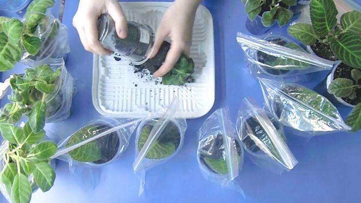 Глоксинии, посадка листьев, результаты моего выращивания !