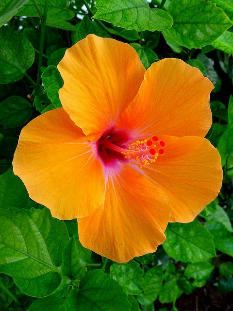 Orange Hibiscus..i would pick hibiscus over any kind of flowers any day