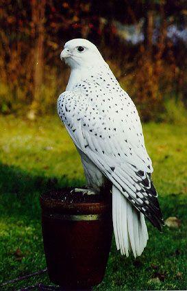 White gyrfalcon - how stunning!!!!