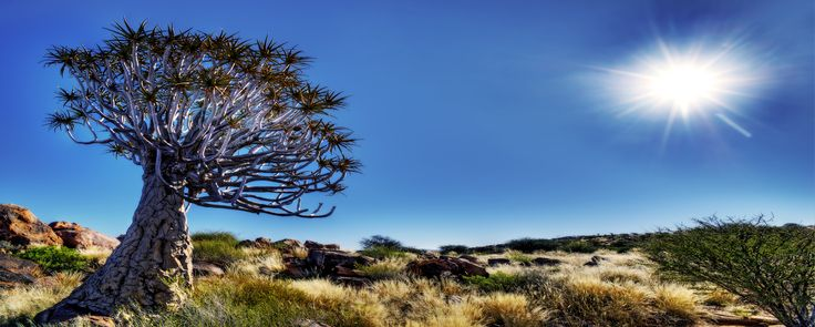 Quiver tree, Kakamas, Northern Cape.