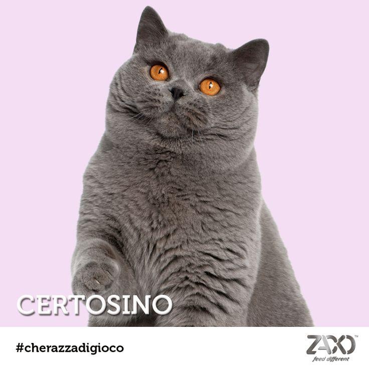 Ecco svelata la razza del quiz del lunedì: un magnifico Certosino dallo sguardo ipnotico! Si tratta di gatti poco invadenti, molto calmi ed equilibrati... sappiate che i maschi sono molto più affettuosi delle femmine! ;)  Se non ne avete abbastanza, lunedì prossimo nuovo quiz #cherazzadigioco