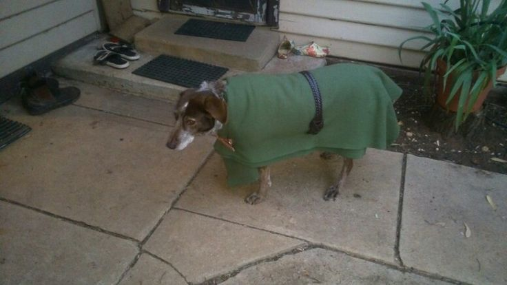Pippa in her new home made, no sew, rug! Old wool blanket, a belt and a dog collar