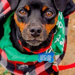 Washington, D.C. - Miniature Pinscher. Meet Choco, a for adoption. https://www.adoptapet.com/pet/19976722-washington-dc-miniature-pinscher-mix