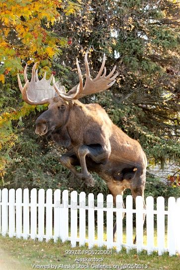 Photo of Large bull moose jumping white picket fence in Anchorage, Alaska in Autumn.