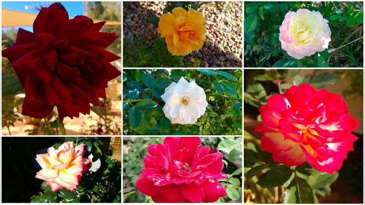 Some of the beautiful roses at Vatu Sanctuary & Homestead... www.vatusanctuary.com.au
