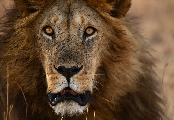 This scarred-face lion gave us his full attention causing chills down our spines when someone in our vehicle forgot that you are not suppose...